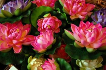 Floating_Lotuses